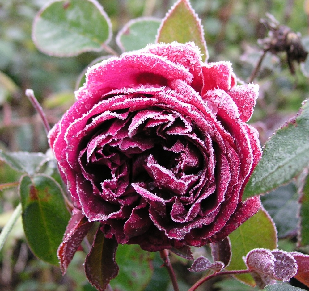 Rose Raureif
