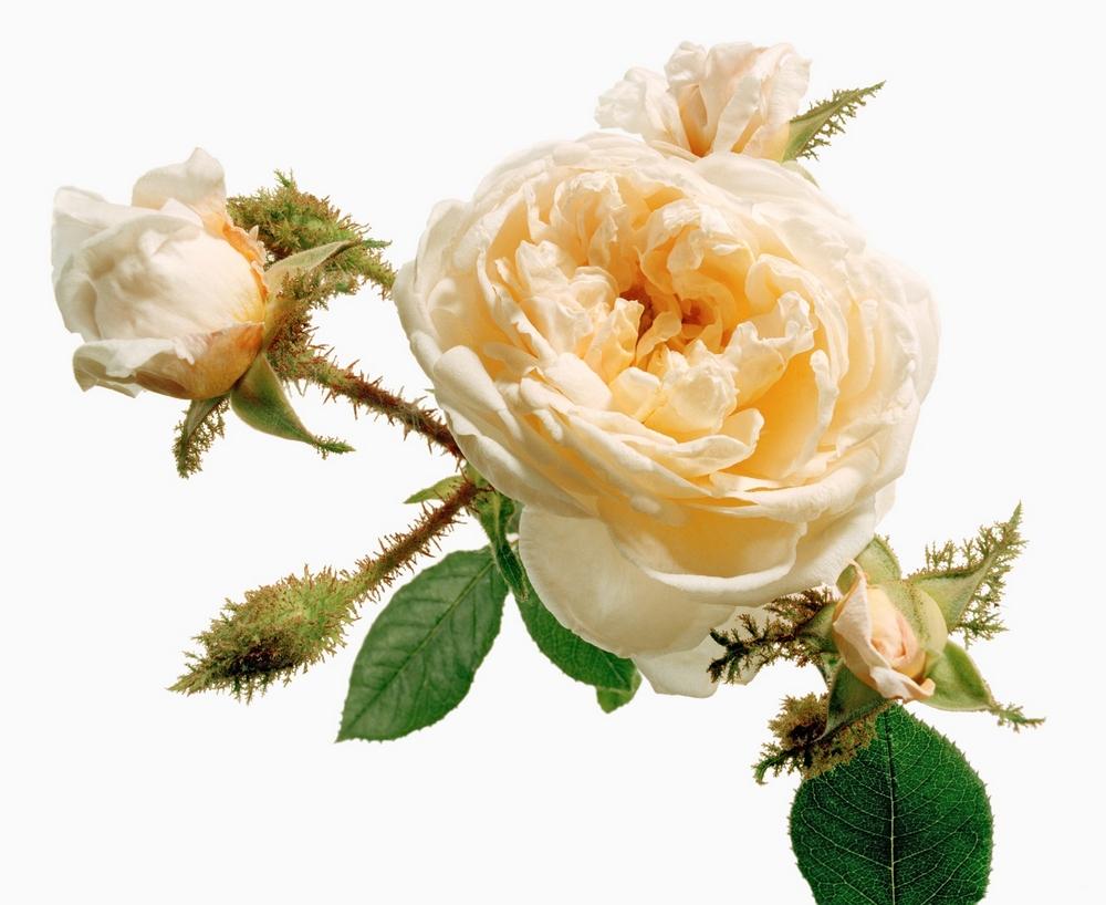 Chinalack und Taubenblut. Die Farbe der Rose