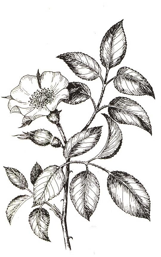 workshop botanisches zeichnen rosenmuseum. Black Bedroom Furniture Sets. Home Design Ideas