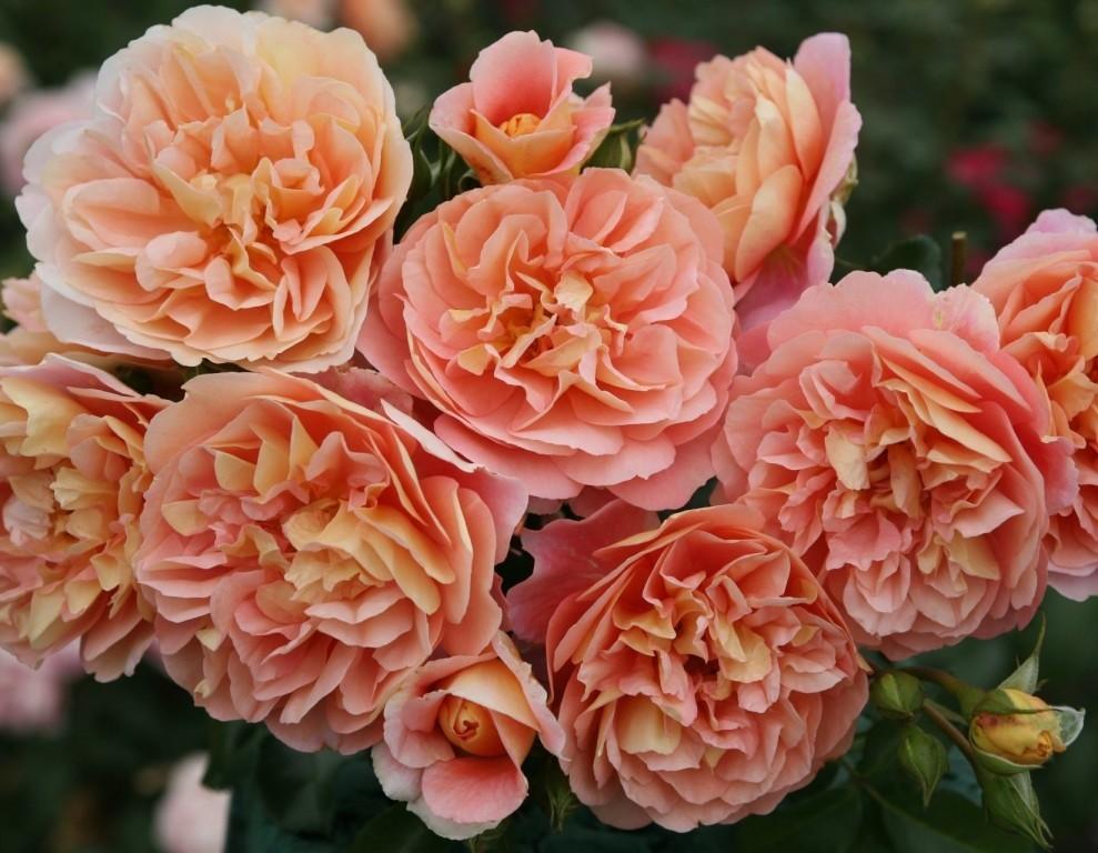 heimlich erz hlen die rosen sich duftende m rchen ins ohr. Black Bedroom Furniture Sets. Home Design Ideas